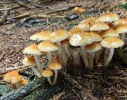 Třepenitka maková - Hypholoma capnoides