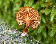 kržatka ježatá - Phaeomarasmius erinaceus