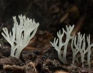 tužnatka nafialovělá - Lentaria afflata (L.alboviolacea)